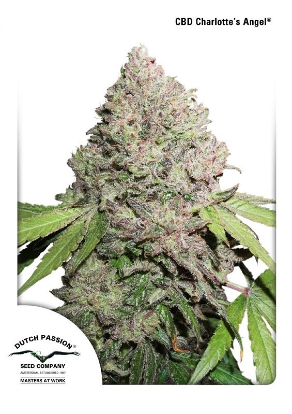 Dutch Passion - CBD Charlotte's Angel
