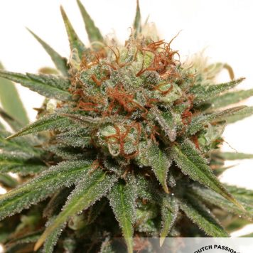 Resin Seeds - Sour P (5-Pack) - Trophy Seeds