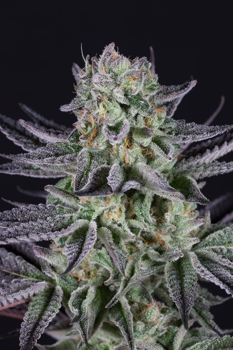 emperor cookie dough seeds for sale