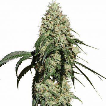 Resin Seeds- Yummy (5-Pack) - Trophy Seeds