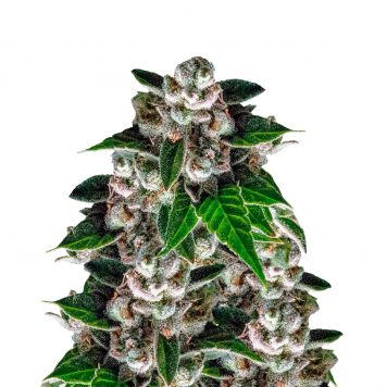 Feminised Seeds (Singles) Archives - Trophy Seeds