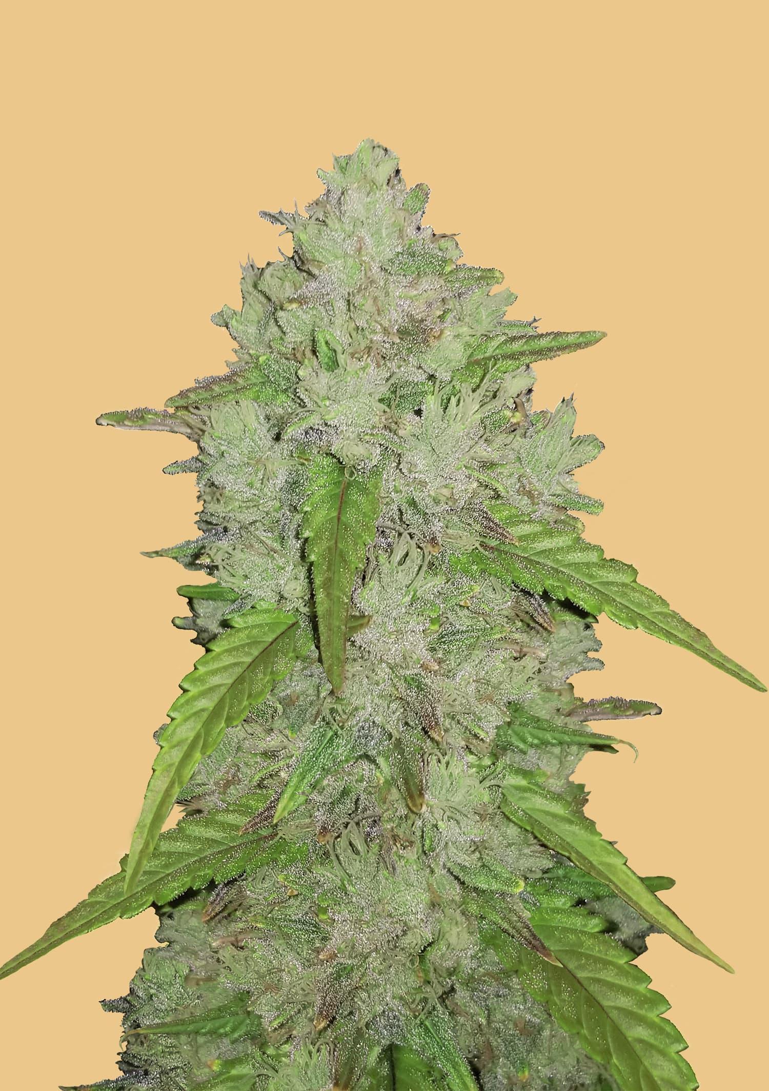 Fastbuds Seeds - Original Auto Amnesia Haze (Singles)