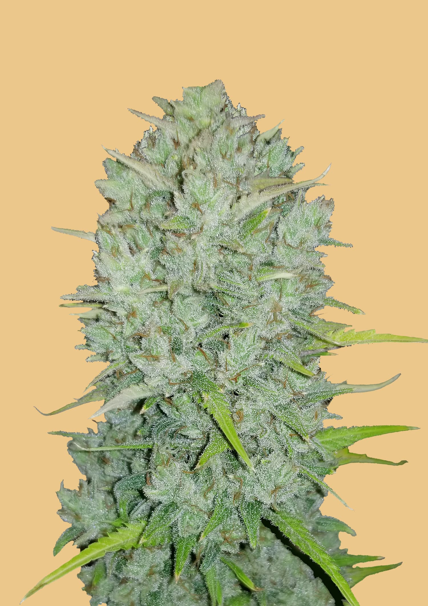 Fastbuds Seeds - Original Auto Northern Lights (10 seeds)
