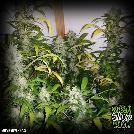 Green Smoke Room Seeds - Super Silver Haze