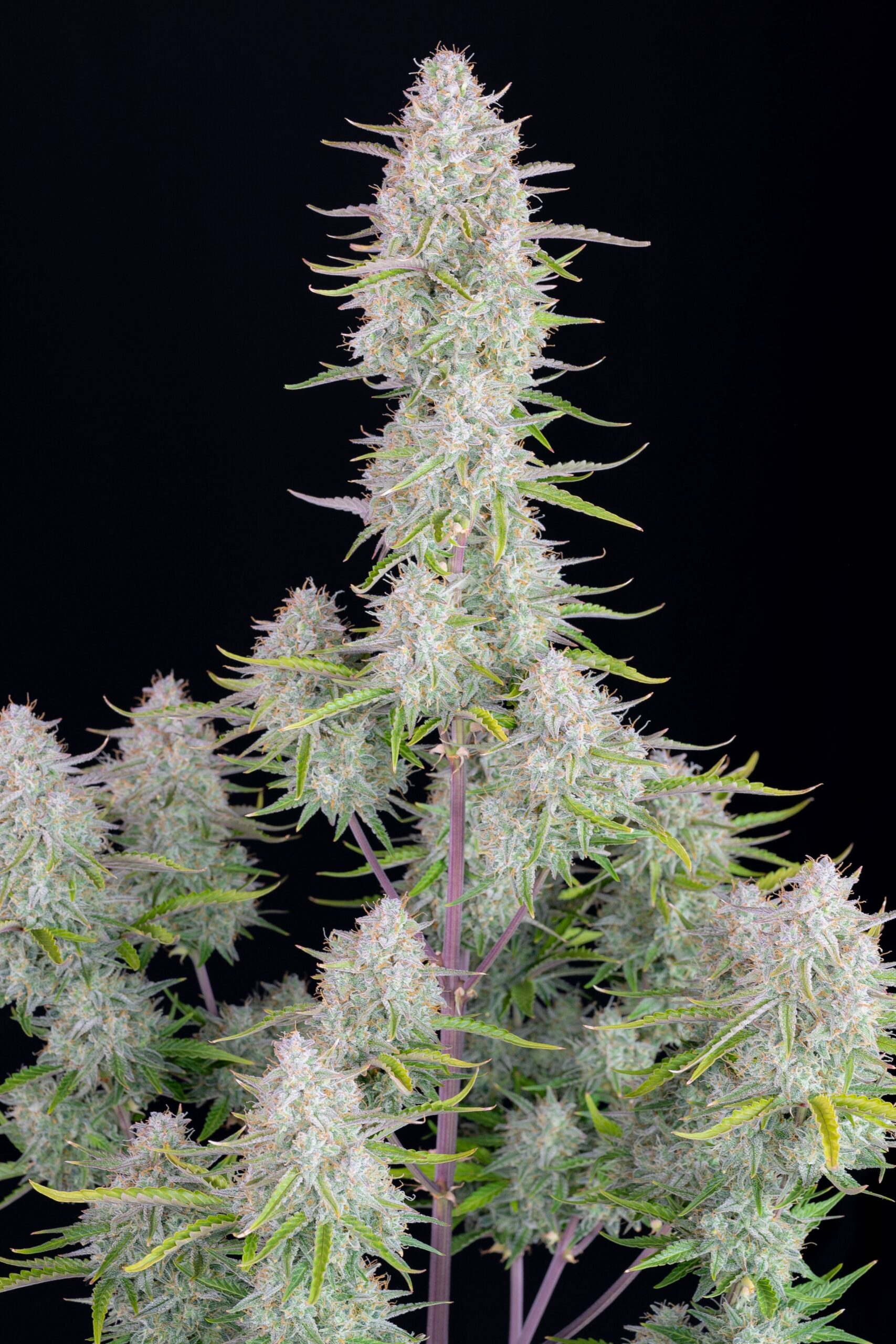 Fastbuds Seeds - Wedding Cheesecake Auto (Single)