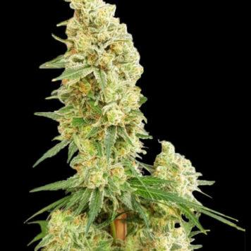 Expert Seeds - Gorilla Banana